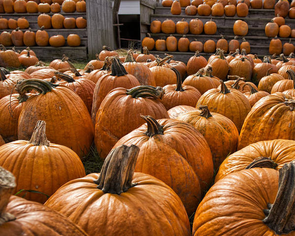 Fall Poster featuring the photograph The Great Pumpkin Farm by Peter Chilelli
