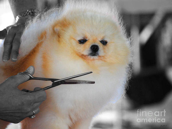 Pomeranian Poster featuring the photograph The Groomer by Jai Johnson