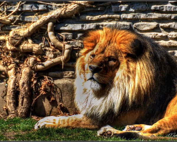 Lion Poster featuring the photograph The King Lazy Boy At The Buffalo Zoo by Michael Frank Jr