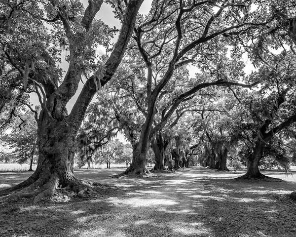 Evergreen Plantation Poster featuring the photograph The Lane Bw by Steve Harrington