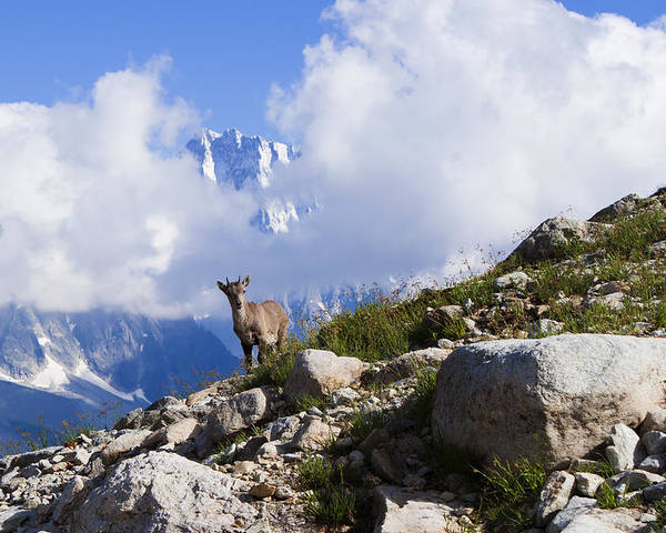 Alpine Ibex Poster featuring the photograph The Little Ibex by Mircea Costina Photography
