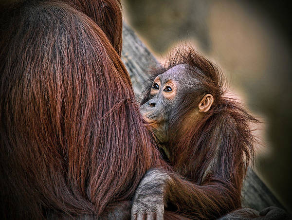 Orangutan Poster featuring the photograph The Look of Love by Donna Proctor