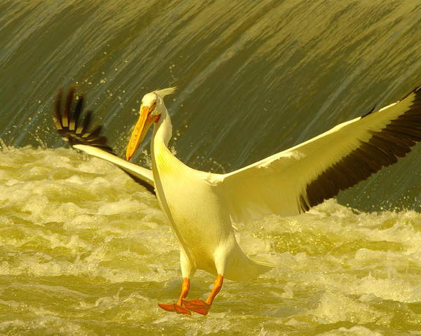 Birds Poster featuring the photograph The Pelican Lands by Jeff Swan