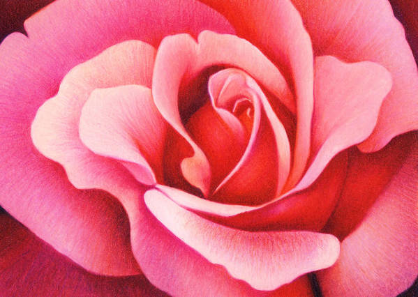 Rose Poster featuring the drawing The Rose by Natasha Denger