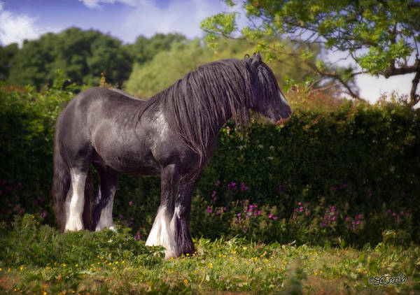 Gypsy Horse Poster featuring the photograph The Superior by Elizabeth Sescilla