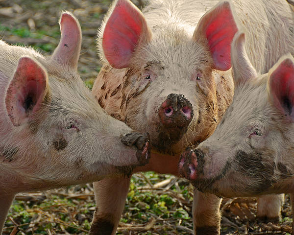 Barnyard Poster featuring the photograph The Three Little Pigs by Steven Michael