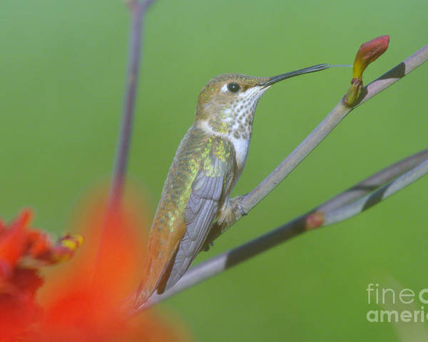 Tongue Poster featuring the photograph The Tongue Of A Humming Bird by Jeff Swan