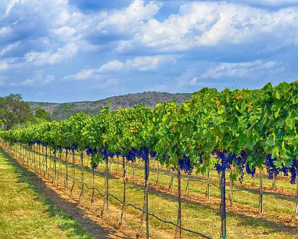 Wine Country Poster featuring the photograph The Vineyard In Color by Kristina Deane