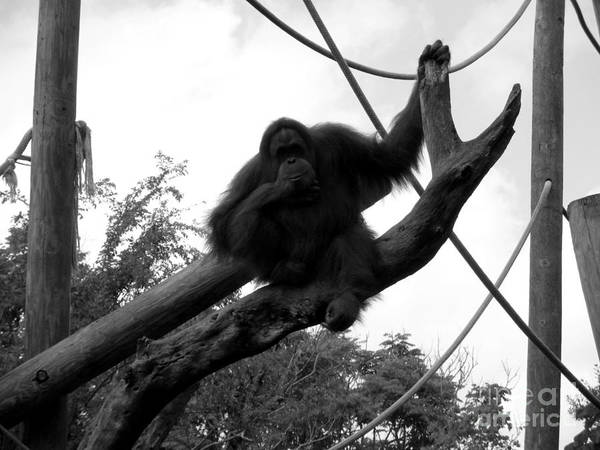 Orangutang Poster featuring the photograph Thinking Of You Black And White by Joseph Baril