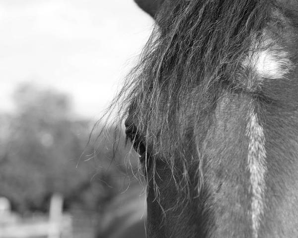 Thoroughbred Poster featuring the photograph Thoroughbred B/w by Jennifer Ancker