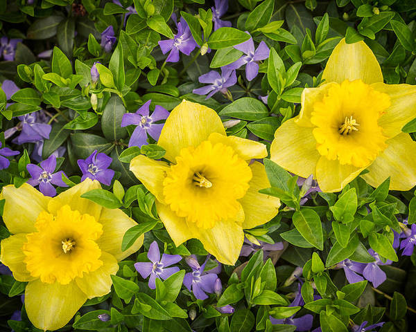 3scape Photos Poster featuring the photograph Three Daffodils In Blooming Periwinkle by Adam Romanowicz