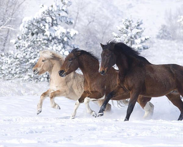 Horse Poster featuring the photograph Three Snow Horses by Carol Walker