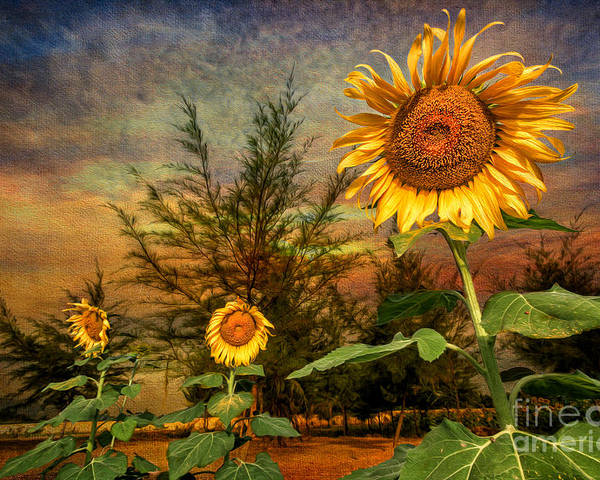 Sunflower Poster featuring the photograph Three Sunflowers by Adrian Evans