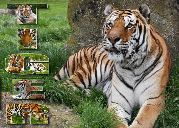 Tiger Poster featuring the photograph Tiger Poster 1 by John Hebb