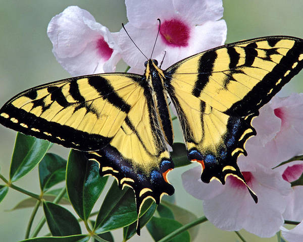 Tiger Poster featuring the photograph Tiger Swallowtail Butterfly by Robert Jensen