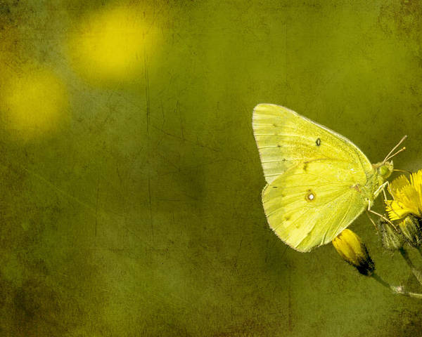 Butterfly Poster featuring the photograph Tiny Green Dancer by Bill Tiepelman