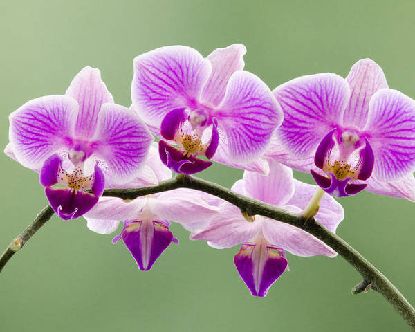 Orchids Poster featuring the photograph Tiny Orchid Faces by Georgette Grossman