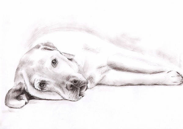 Dog Poster featuring the drawing Tired Labrador by Nicole Zeug