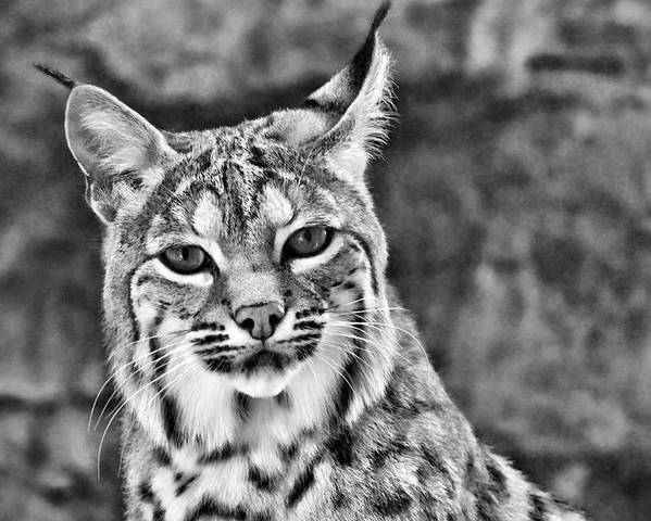 Bobcat Poster featuring the photograph To Be Seen by Natasha Mohr