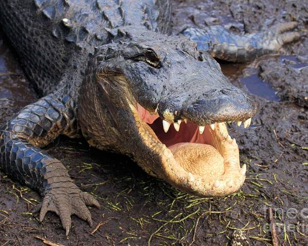 Alligator Poster featuring the photograph Toothy Grin by Adam Jewell