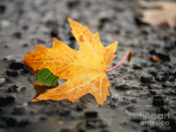Healing Foliage Photography For A Leaf Meditation. Autumn Maple Tree Fallen Leaf Poster featuring the photograph Touch Of Green by Irina Wardas