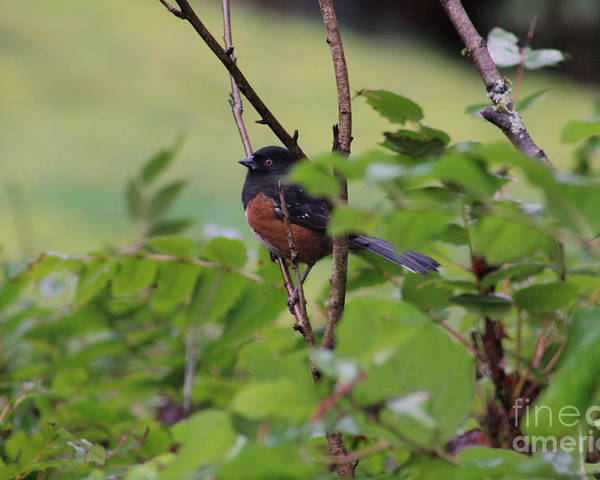 Rufous Sided Towhee Poster featuring the photograph Towhee Keeps Watch On High by Kym Backland