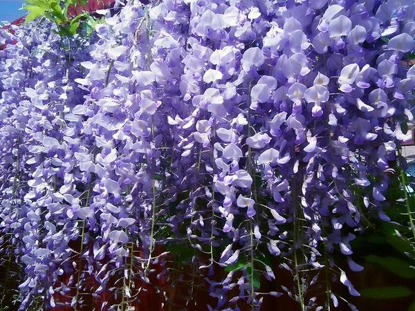 Flower Floral Purple Wisteria Trailing Garden Print Colourful Smell Poster featuring the pyrography Trailing Wisteria by Susan Knott