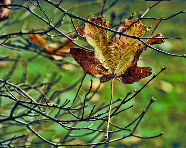 Fallen Leaf Poster featuring the photograph Trapped by Bonnie Bruno