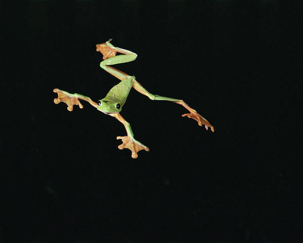 Color Image Poster featuring the photograph Tree And Leaf Frog Jumping by Michael and Patricia Fogden
