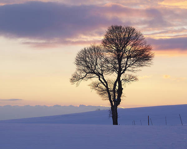 Tree Poster featuring the photograph Tree In A Winter Landscape In The Evening by Olaf Schulz