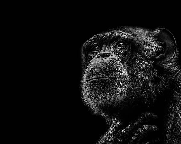 Chimpanzee Poster featuring the photograph Trepidation by Paul Neville