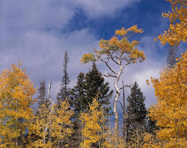 Arizona Poster featuring the photograph Tri-color Aspen by Tom Daniel