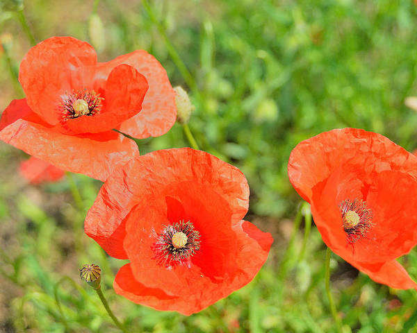 Trio Of Poppies Poster featuring the photograph Trio of poppies by Patrick Pestre