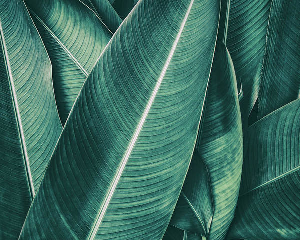 Spa Poster featuring the photograph Tropical Palm Leaf, Dark Green Toned by Pernsanitfoto