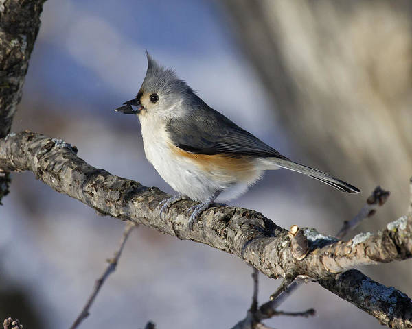 Tufted Titmouse Poster featuring the photograph Tufted Titmouse by Eric Mace