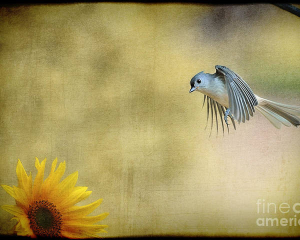 Tufted Titmouse Poster featuring the photograph Tufted Titmouse Flying Over Flower by Dan Friend