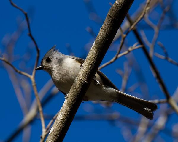 Tufted Titmouse Poster featuring the photograph Tufted Titmouse by Robert L Jackson