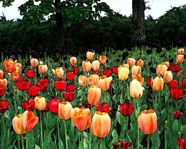 Tulips Poster featuring the photograph Tulip Festival by Zinvolle Art