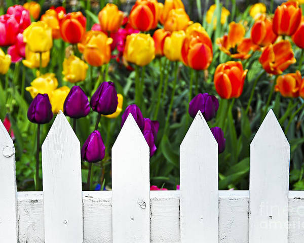 White Poster featuring the photograph Tulips Behind White Fence by Elena Elisseeva