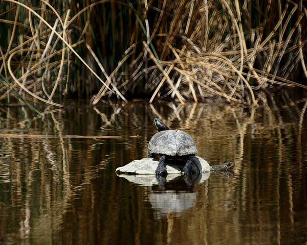 Turtle On Turtle Poster featuring the photograph Turtle On Turtle by Ernie Echols