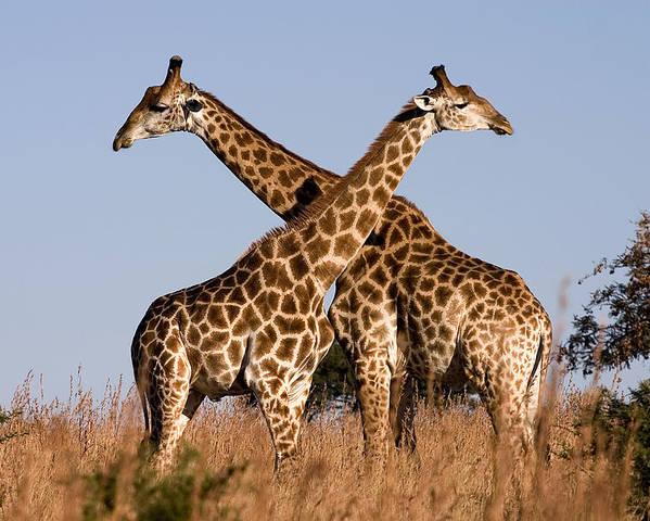 Giraffe Giraffes Pair Twins Two Kenya Africa Poster featuring the photograph Twin Giraffes by Wendy White