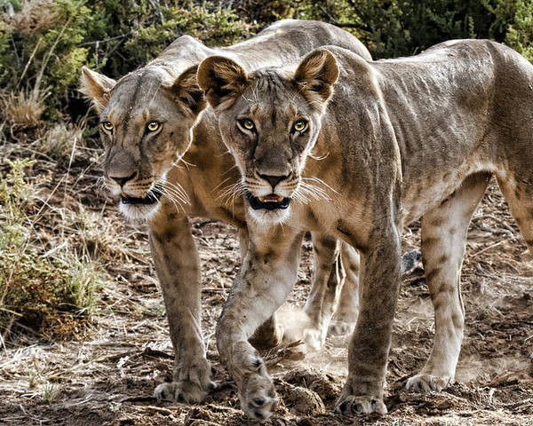 Two Pair Lions Kenya Africa Poster featuring the photograph Twin Lions by Wendy White