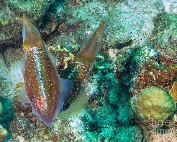 Common Squid Poster featuring the photograph Twins by Thomas Major