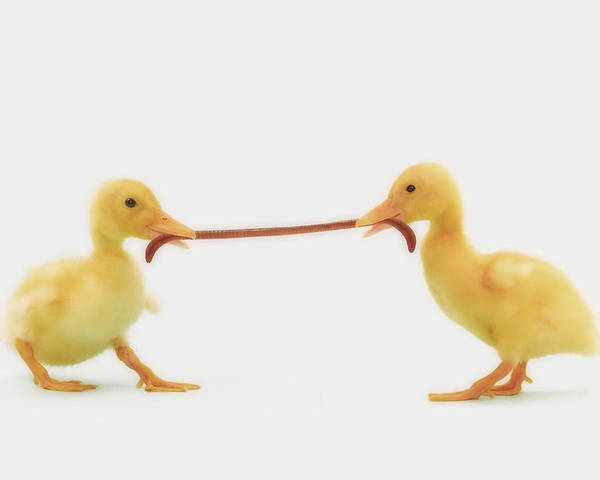 Competition Poster featuring the photograph Two Baby Ducklings Fighting by Thomas Kitchin & Victoria Hurst