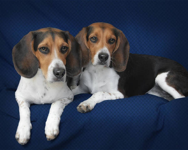 Beagles Poster featuring the photograph Two Brothers by Christine Till