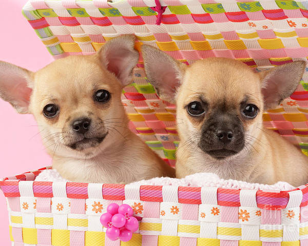 Puppy Poster featuring the digital art Two Chihuahuas by Greg Cuddiford
