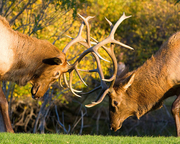 Autumn Poster featuring the photograph Two Elk Bulls Sparring by James BO Insogna