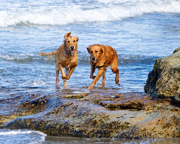 del Mar Poster featuring the photograph Two Golden Retriever Dogs Running On Beach Rocks by Susan Schmitz