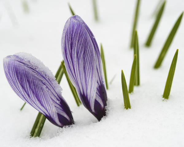 Crocus Poster featuring the photograph Two Purple Crocuses In Spring With Snow by Matthias Hauser
