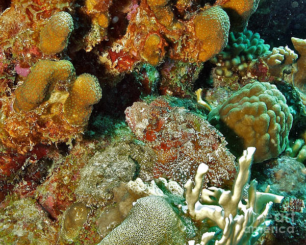 Scorpionfish Poster featuring the photograph Two Scorpionfish by Thomas Major